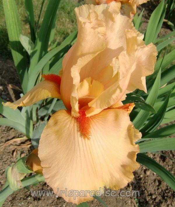 Iris 'Muriel Gamage' Muriel_Gamage_fl