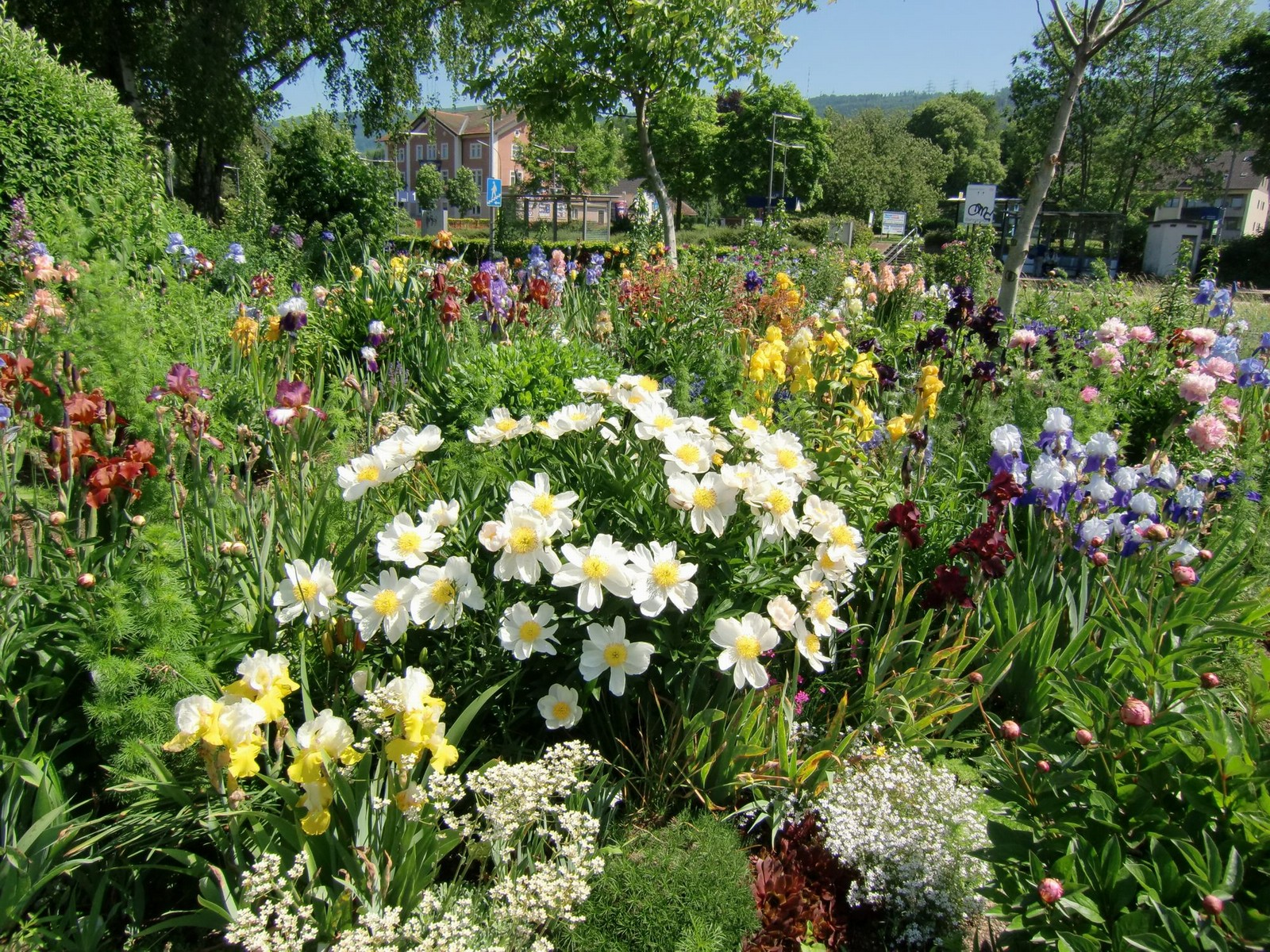 Brennet iris garden also a selection of breeders and sources worldwide and a very complete selection of iris books in different languages izmirmasajfo Gallery